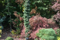 Acer-platanoides-'Stand-Fast'