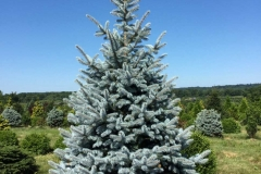 Blue-Spruce-Perfection