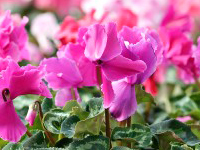 call-out-cyclamen